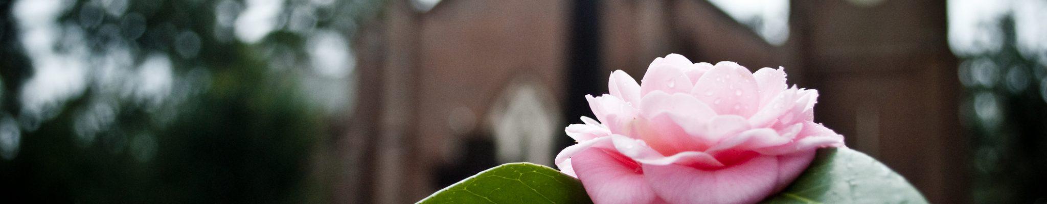 Rose on grave